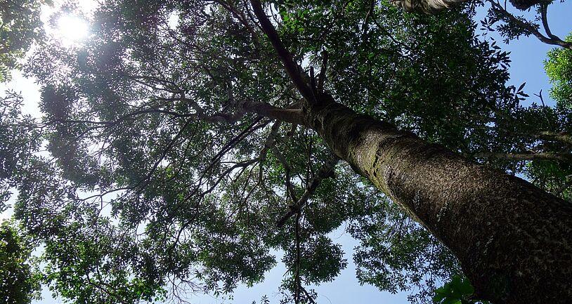 Kibale Nationalpark Walburgia Ugandesis