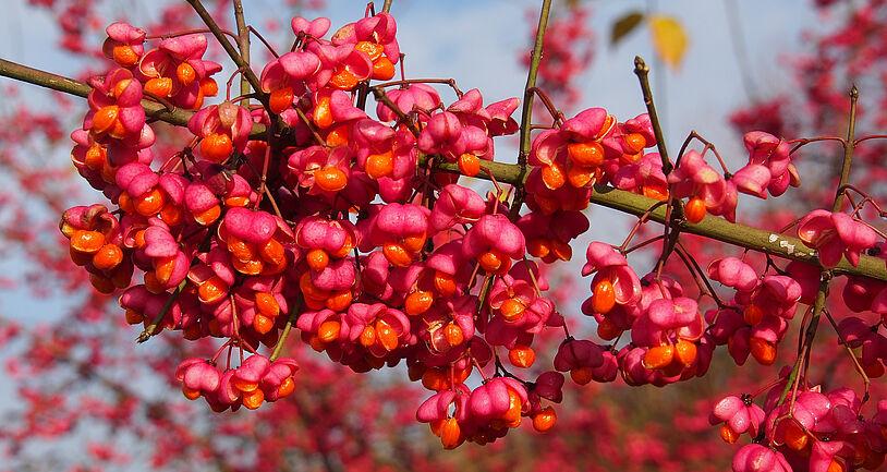 Pinker Strauch in Sachsen als Blumenstrauß